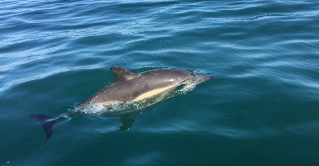 Des dauphins en baie de Morlaix